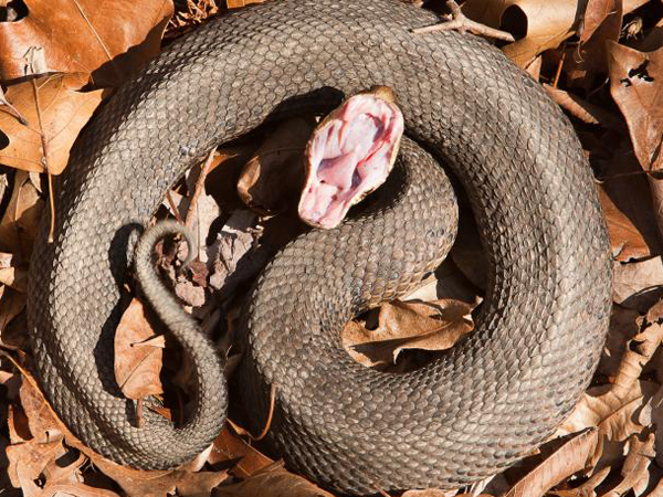 Some Things To Know About The Cottonmouth Snake River Hills Traveler